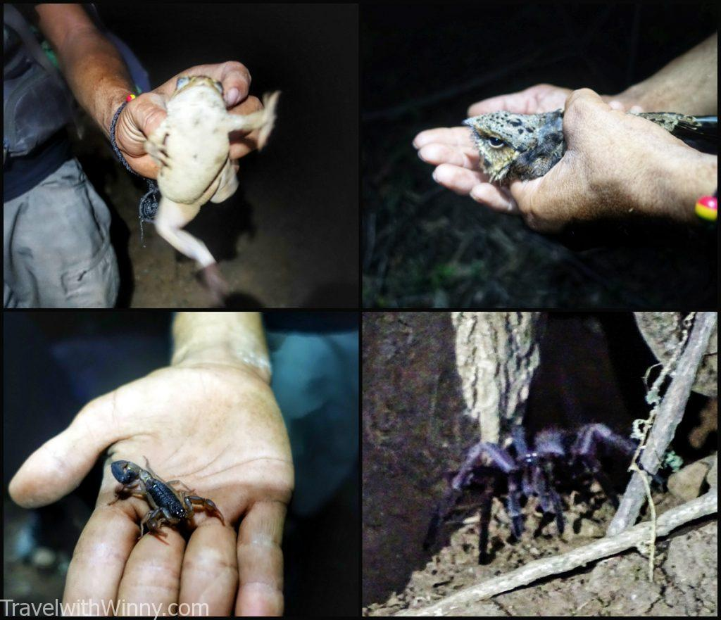 wild snake poison 青蛙 bull frog 野生 毒 蛇